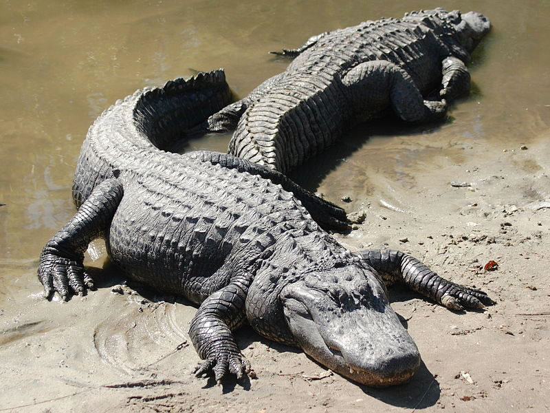 temperature dependent sex determination in crocodiles facts in Guelph